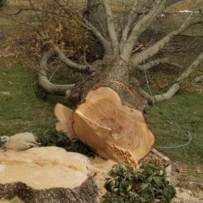Close up picture of a tree fallen for a tree removal in Bethesda, MD