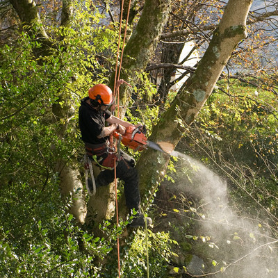 Picture of our tree climber hanging in a tree trimming dead branches in Bethesda, MD