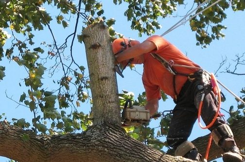 Picture of our tree climber trimming dead branches from a large oak treen in Rockville, MD