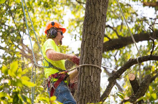 Picture of our tree climber trimming a tree in late for for a customer in Rockville, MD