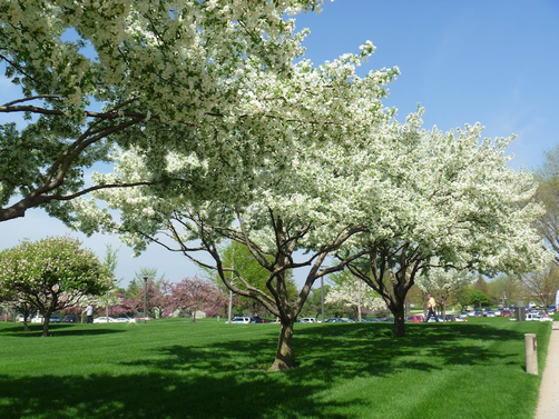Picture of a trees placed in a row in full bloom with white flowers during the spring in Rockville, MD